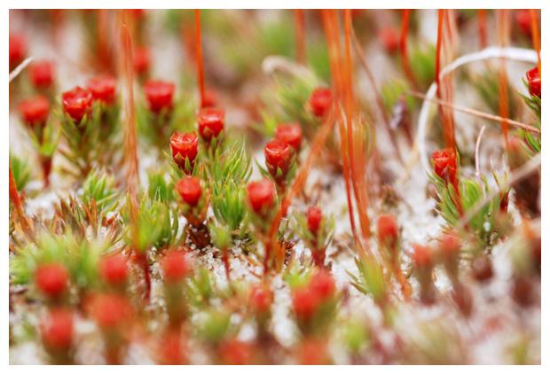 foto´s, Ruig haarmos (Polytrichum), mos