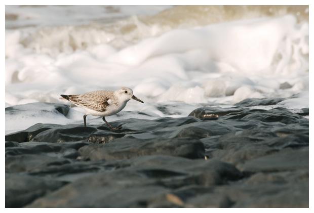 foto's, Drieteenstrandloper (Calidris alba)