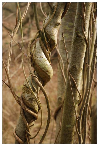 foto´s, Kamperfoelie (Lonicera), plant
