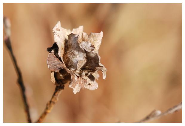foto's, Gewone wilgenroosjesgalmug (Rabdophaga rosaria), gal, wilg
