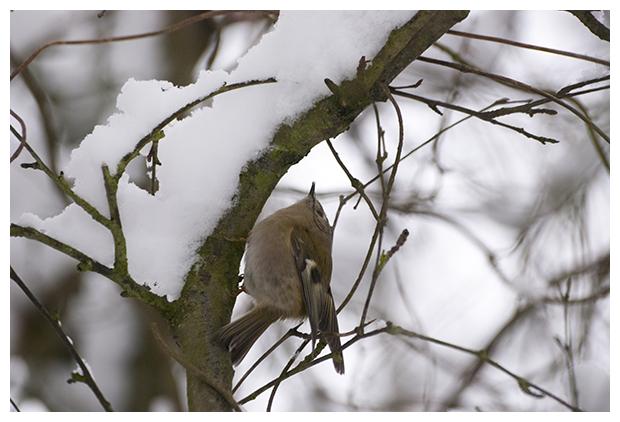 foto's, Goudhaantje (Regulus regulus), vogel