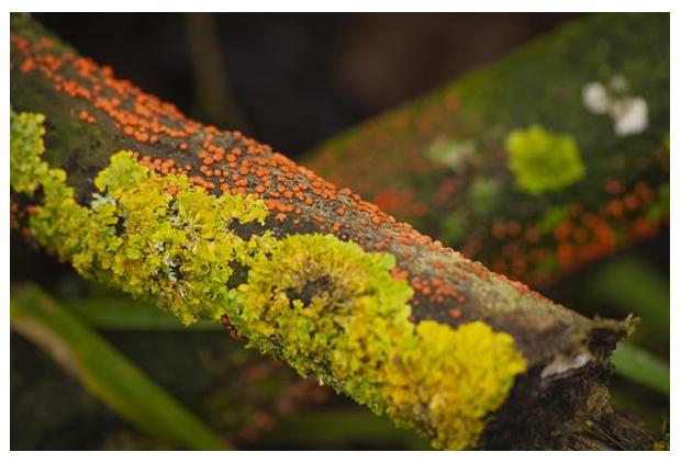 foto, Gewoon meniezwammetje (Nectria cinnabarina), paddenstoel
