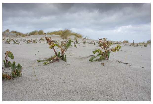 foto's, Zeewolfsmelk (Euphorbia paralias), plant
