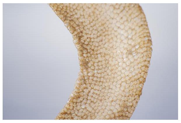 foto's, Grote tepelhoren (Euspira catena), eipakket