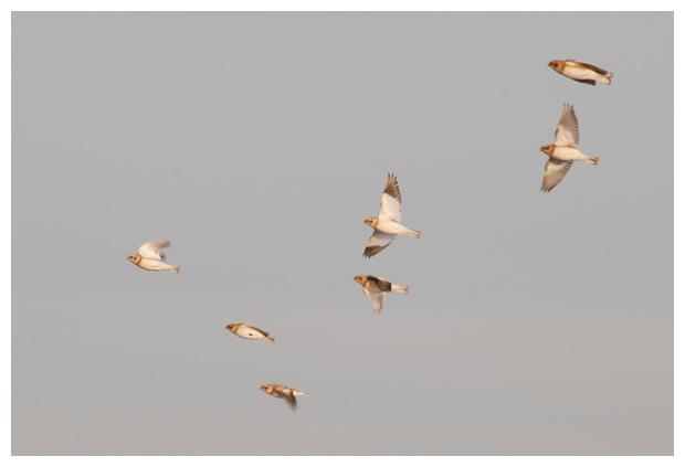 foto's, Sneeuwgors (Plectrophenax nivalis), vogel
