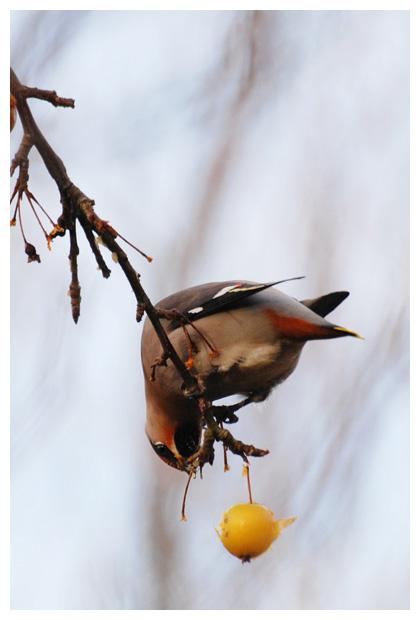 foto's, Pestvogel (Bombycilla garrulus), vogel