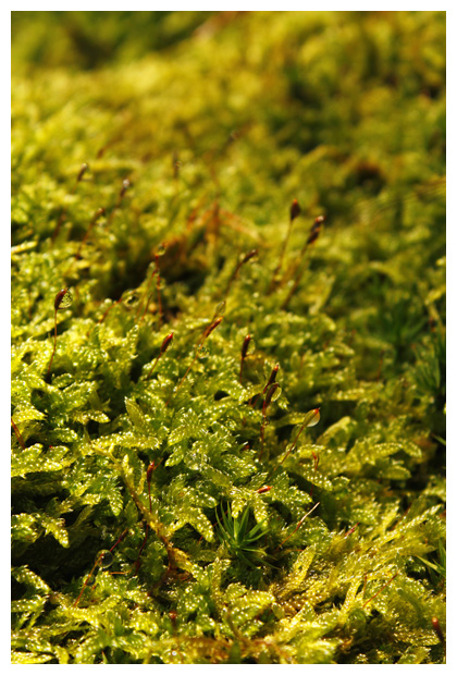 foto's, Gesnaveld of gewoon klauwtjesmos (Hypnum cupressiforme), mos