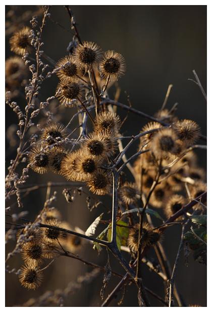 foto´s, Grote, klit, klis, (Arctium lappa), plant