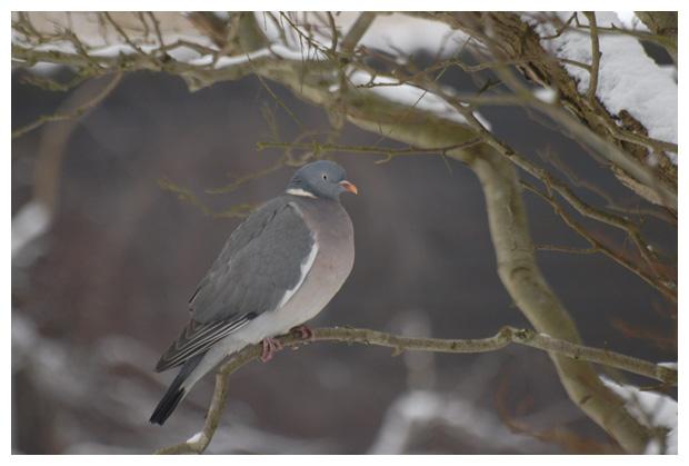 foto's, Houtduif (Columba palumbus), duif