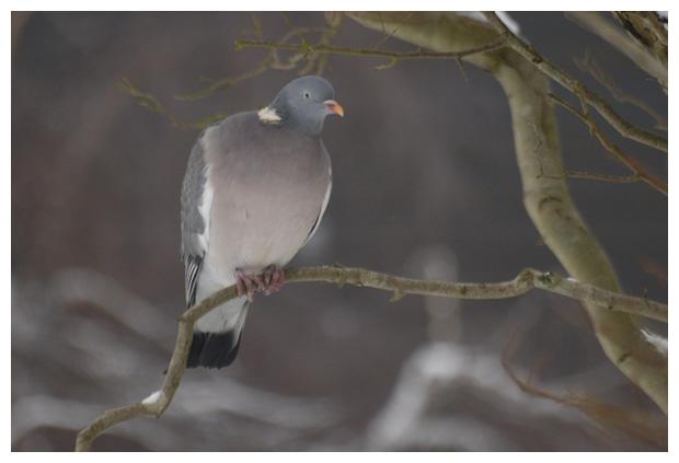 foto's, Houtduif (Columba palumbus) , vogel