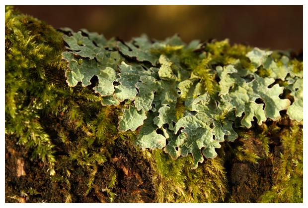 foto´s, Gewoon schildmos (Parmelia sulcata), korstmos