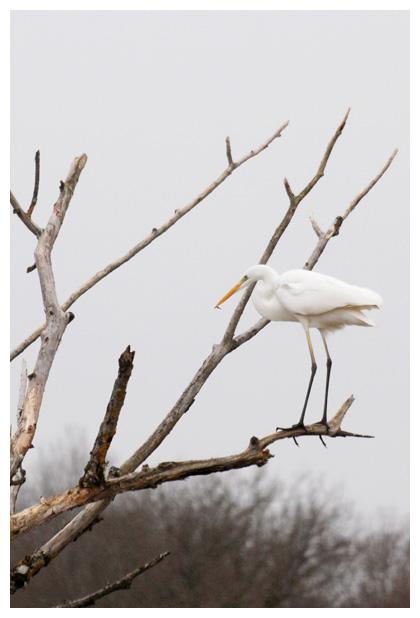 foto´s, Grote zilverreiger (Ardea alba), vogel