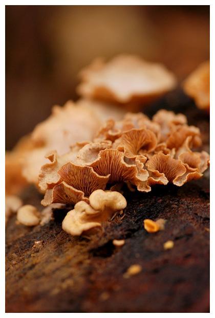 foto's, Scherpe schelpzwam (Panellus stipticus), paddenstoel