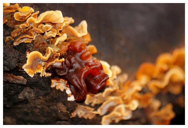foto´s, Bruine trilzwam (Tremella foliacea), paddenstoel