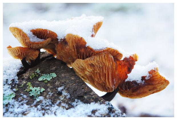 foto's, Fluweelpootje (Flammulina velutipes), paddenstoel