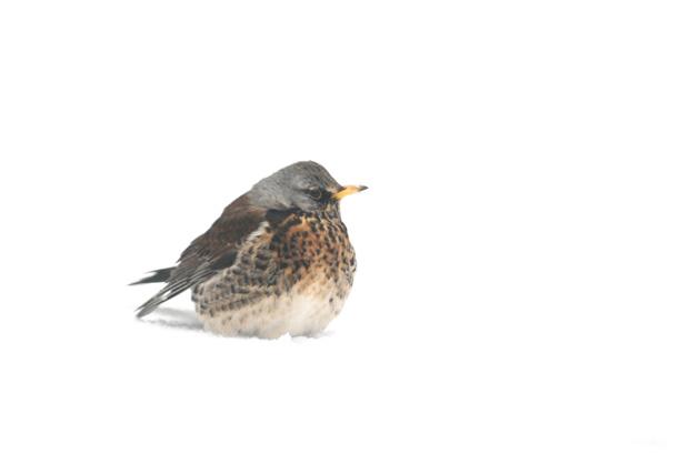 foto´s, Kramsvogel (Turdus pilaris), lijsterachtige