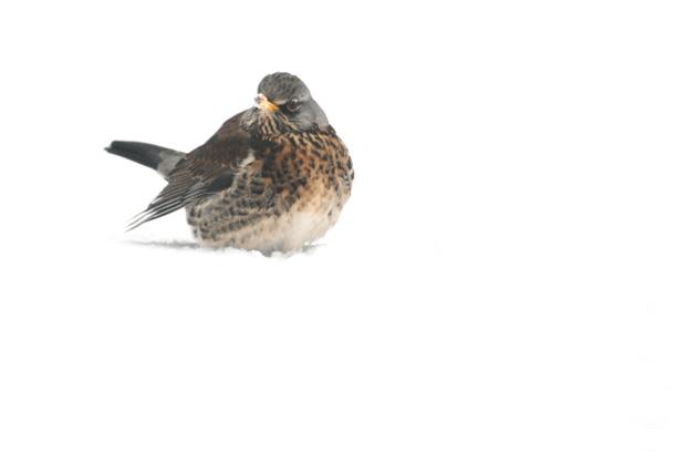foto´s, Kramsvogel (Turdus pilaris), vogel