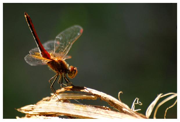 foto's, Geelvlekheidelibel (Sympetrum flaveolum), libel