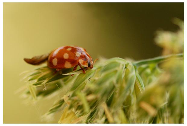 foto's, Roomvlek lieveheersbeestje (Calvia quaotordecimguttata), kever
