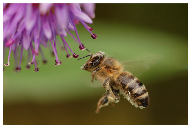 foto's, Honingbij (Apis mellifera), honingbijen