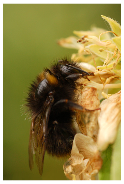 foto's, Weidehommel (Bombus pratorum), hommel