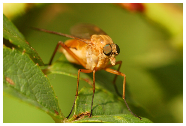 gewone snipvlieg of snavelvlieg (rhagio scolopaceus)