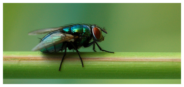 groene vleesvlieg (phaenicia sericata)