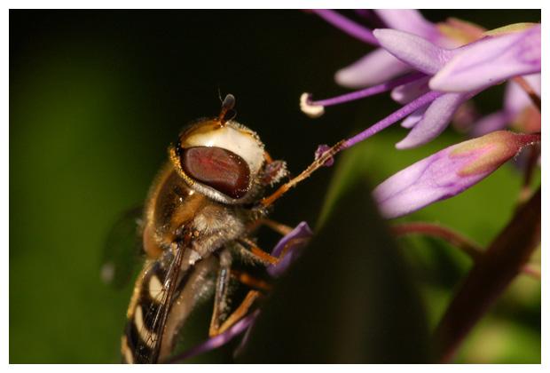 gele halvemaanzweefvlieg (scaeva selenitica)