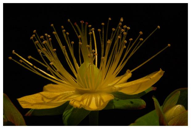foto's, Grootbloemig hertshooi (Hypericum calycinum), plant