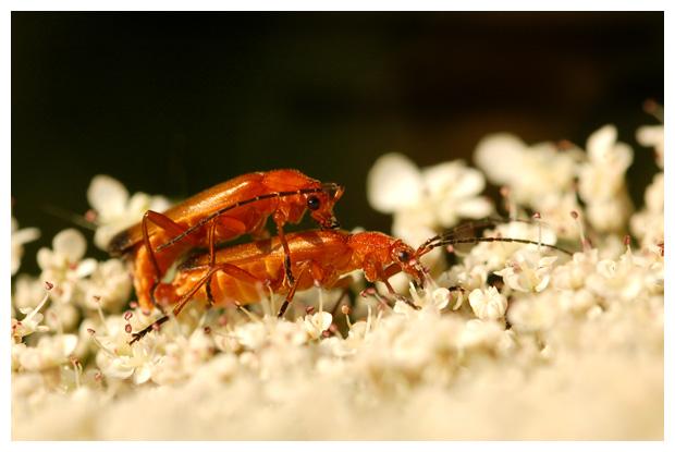 soldaatje of de kleine rode weekschild (rhagonycha fulva) , soldaatjes, kever, kevers, kevertje, kevertjes, keverfoto´s, tor, torren, torretjes, rood / rode insect, insecten, insekt, insekten,  insectenfoto´s, insektenfoto´s