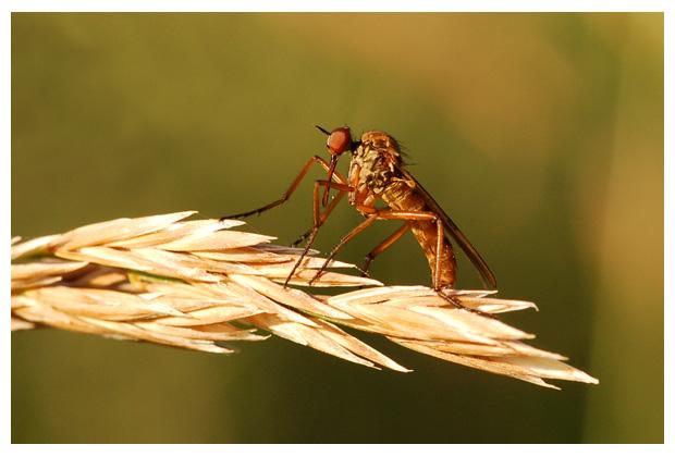 foto's, familie Dansvliegen (Empididae), vlieg