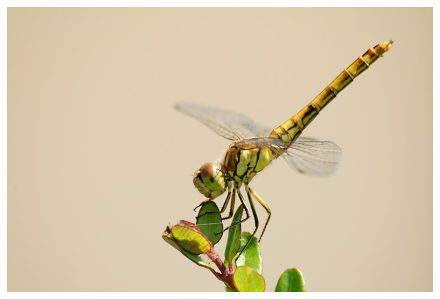 foto's, Steenrode heidelibel (Sympetrum vulgatum), libel