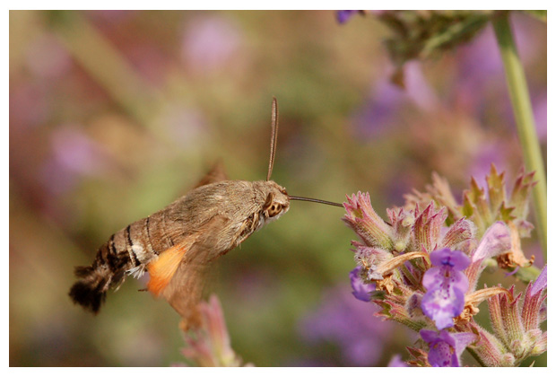 kolibrievlinder (macroglossum stellatarum), kolibrievlinders, kolibrievlindertje, kolibrievlinderfoto´s, vlinder, vlinders, vlindertje, vlindertjes, nachtvlinder, nachtvlinders, nachtvlinderfoto´s, nachtvlinderfotos, mot, motten, het motje, motjes, insect, insecten, insekt, insekten