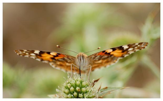 distelvlinder (vanessa cardui), distelvlinders, distelvlinderfoto´s, vlinder, vlinders, vlindertje, vlindertjes, vlinderfotos, vlinderfoto´s, vlinderfoto's, dagvlinder, dagvlinders, dagvlinderfoto´s, dagvlinderfotos, insect, insecten, insekt, insekten
