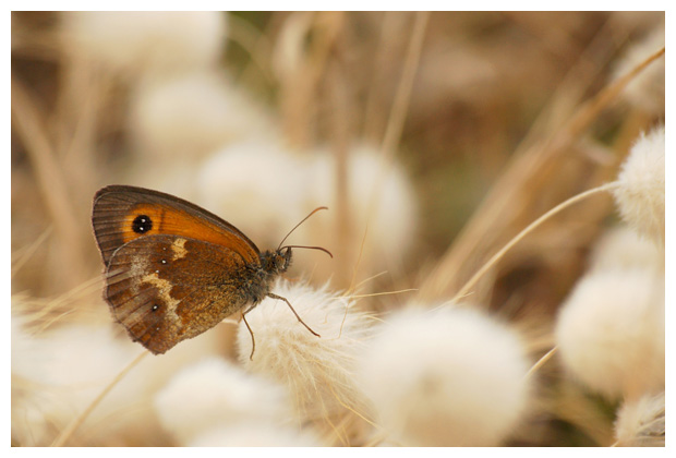 foto's, Oranje zandoogje (Pyronia tithonus), vlinder