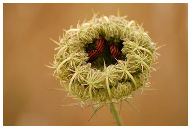 foto´s, Wilde peen (Daucus carota), plant