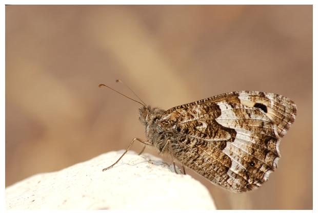 foto's, Heivlinder (Hipparchia semele), vlinder