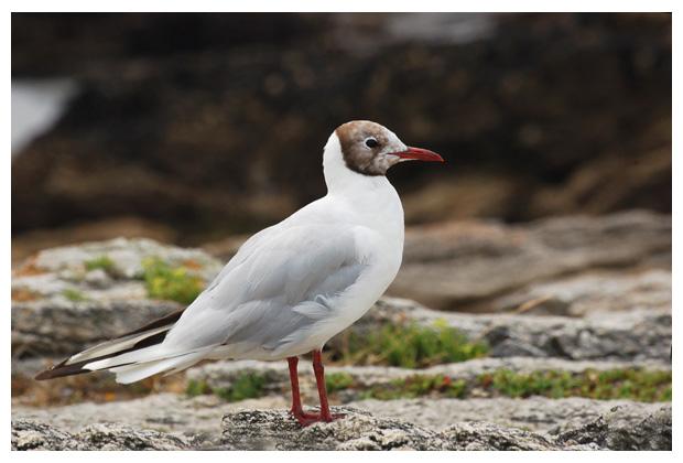 foto's, Kokmeeuw (Larus ridibundus), vogel