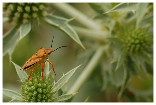foto's, Vruchtenschildwants (Carpocoris fuscispinus), wants