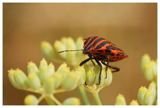foto's, Rood-zwarte streepwants of pyamawants (graphosoma lineatum, italicum), wants