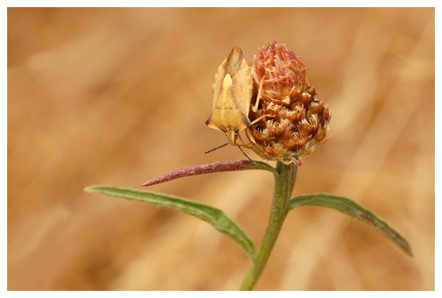 foto's, Knoopkruid (Centaurea jacea), plant