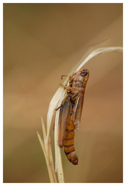sprinkhaan, sprinkhanen, sprinkhaantje, schimmel (Entomophthora grylli)