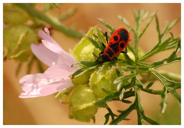 foto's, Vuurwants (Pyrrhocoris apterus), wants