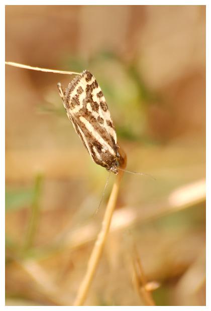 panteruiltje (emmelia trabealis)