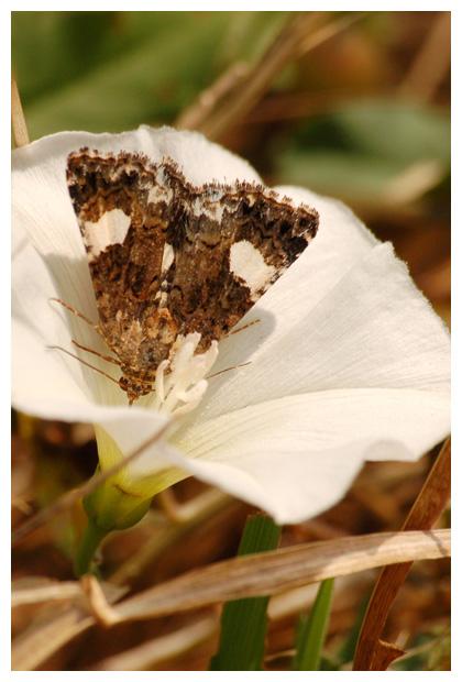 akkerwinde-uil (tyta luctuosa)ilen, uiltje, vlinder