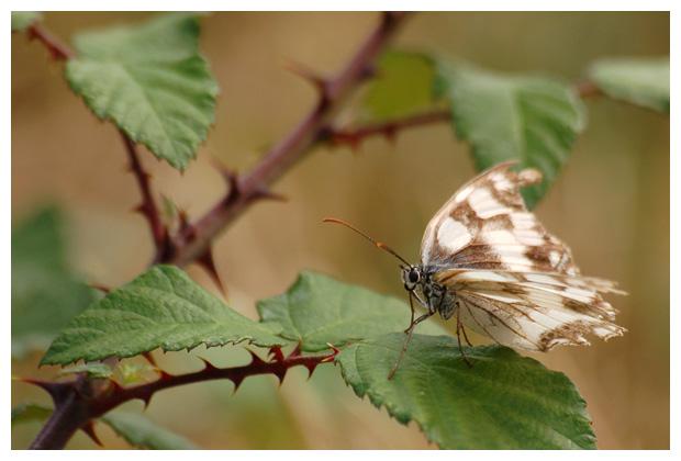 dambordje (melanargia galathea), vlinder, vlinders, vlindertje, vlindertjes