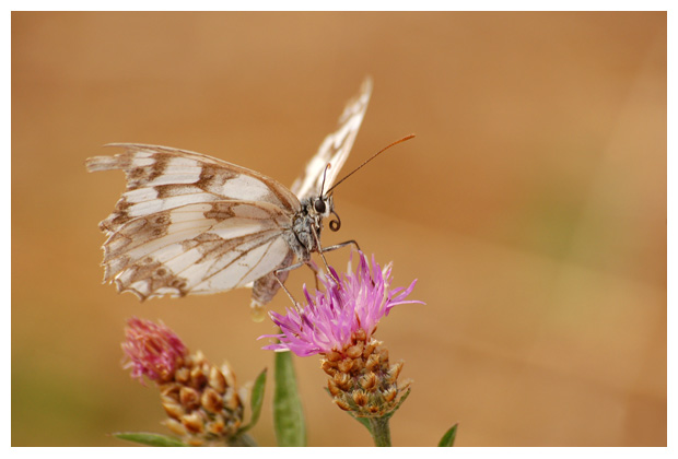 dambordje (melanargia galathea), vlinder, vlinders, vlindertje