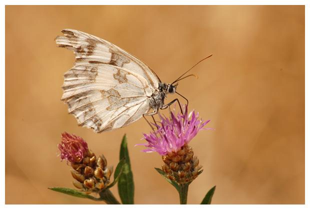 dambordje (melanargia galathea), vlinders, vlindertje
