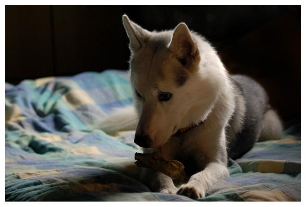 hond, honden, hondje, hondjes, husky, husky´s