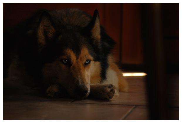 hond, siberian husky, husky´s, huskies